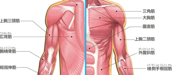 五十肩に影響する筋肉